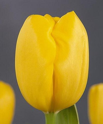 Тюльпан Лили Шраер