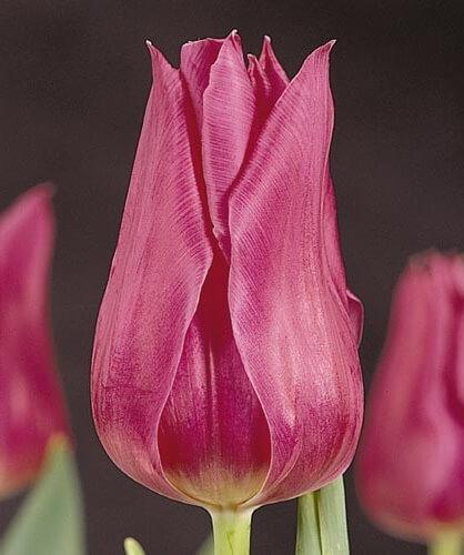 Тюльпан Лилишарм