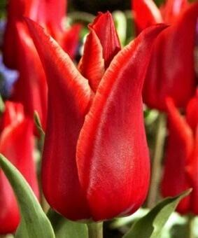 Тюльпан Лилистар