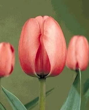Тюльпан Лило Пинк