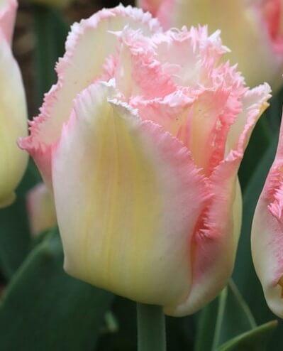 Тюльпан Лингери