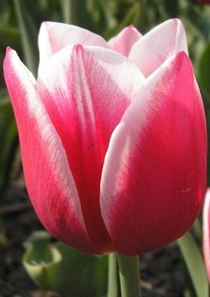 Тюльпан Люстиг Витве