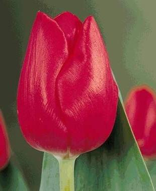 Тюльпан Лонгфеллоу