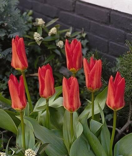 Тюльпан Мадам Лефебер