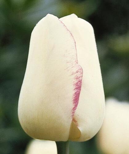 Тюльпан Магиер