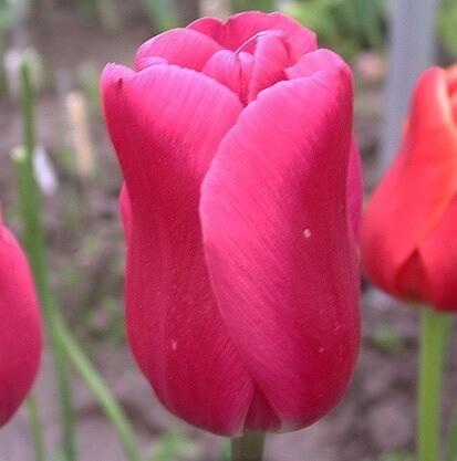 Тюльпан Махра