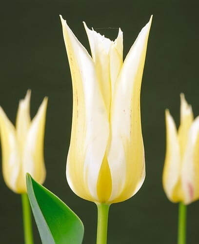Тюльпан Макарена