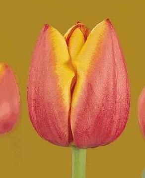 Тюльпан Манон