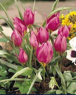 Тюльпан Маравилла