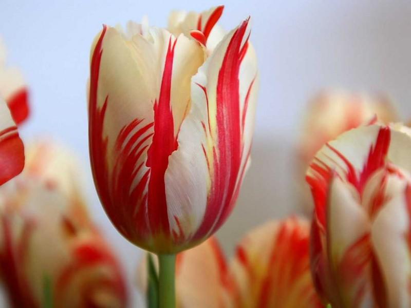 Тюльпан Марина