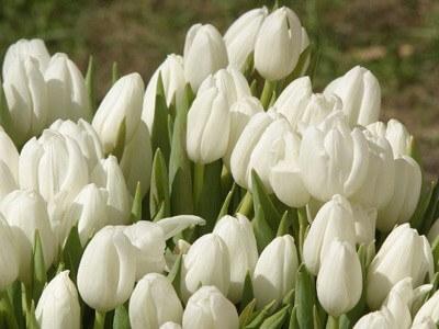 Тюльпан Маурин