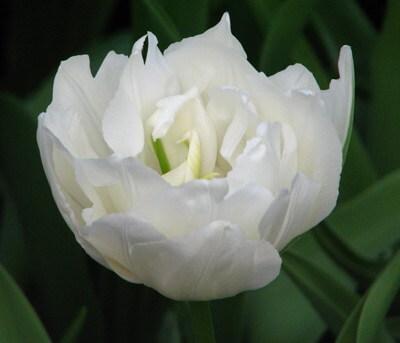 Тюльпан Маурин Дабл