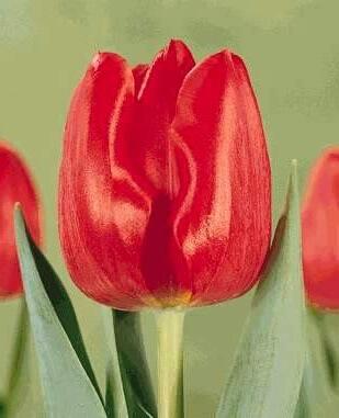 Тюльпан Мерапи
