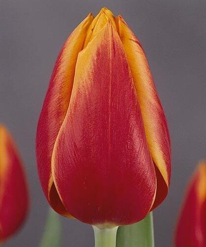Тюльпан Мэри Белл