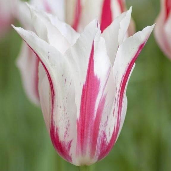 Тюльпан Мэрилин