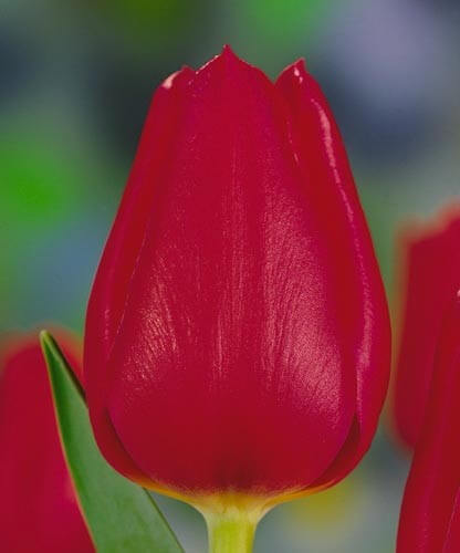 Тюльпан Метеор