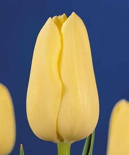 Тюльпан Милано