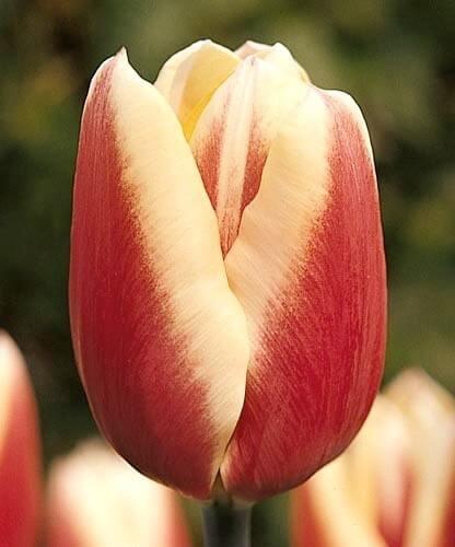 Тюльпан Миржоран