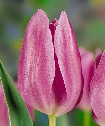 Тюльпан Монако