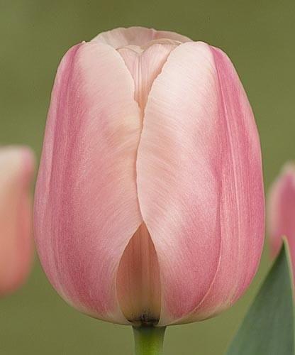 Тюльпан Монте Роза