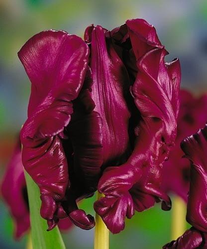 Тюльпан Муриел