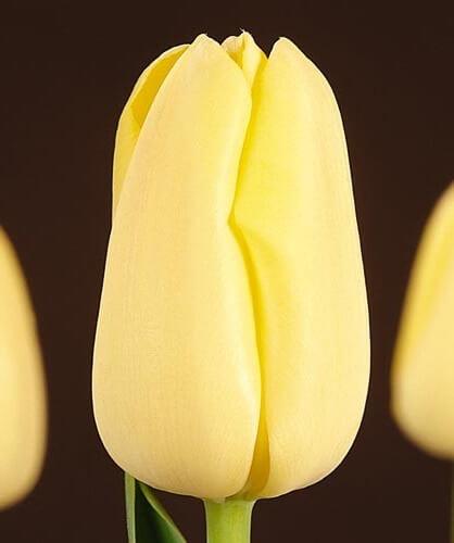 Тюльпан Нагано