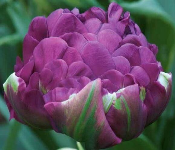 Тюльпан Негрита Дабл