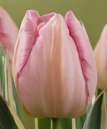 Тюльпан Ниигата