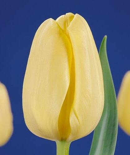 Тюльпан Нова Зембла