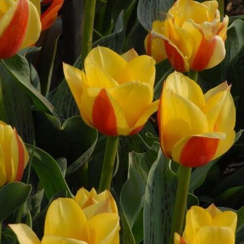 Тюльпан Одиа