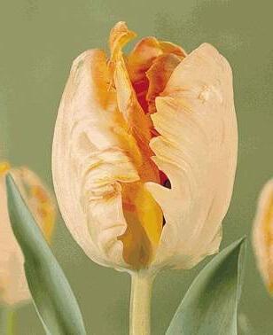 Тюльпан Онедин