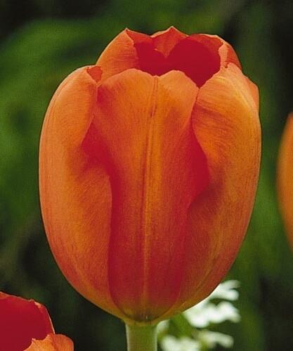 Тюльпан Оранжезон