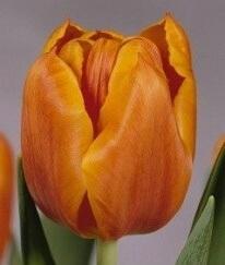 Тюльпан Пако
