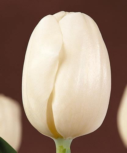 Тюльпан Пакс