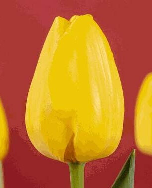 Тюльпан Палм Бич