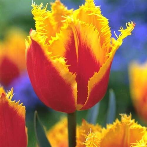 Тюльпан Пальмарес