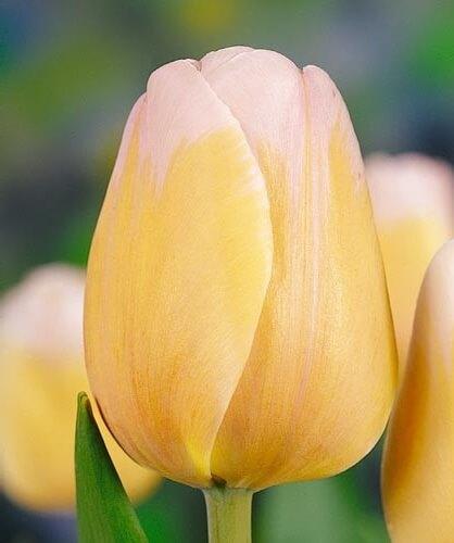 Тюльпан Парасол