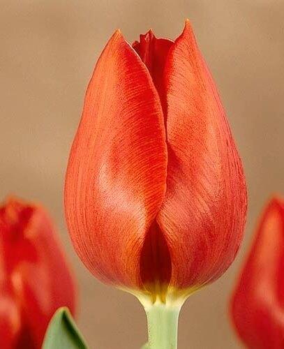 Тюльпан Патилмо