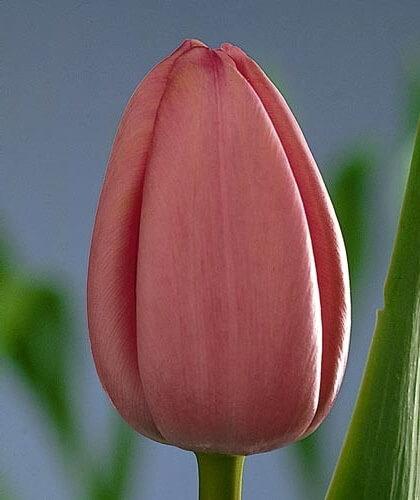 Тюльпан Пинк Суприм