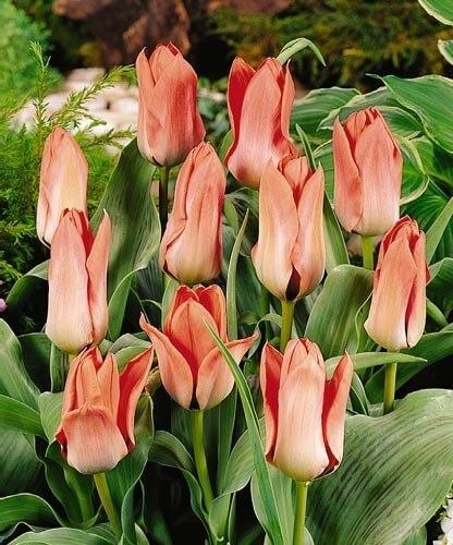 Тюльпан Пинкин