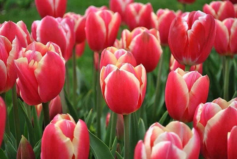 Тюльпан Пиранд
