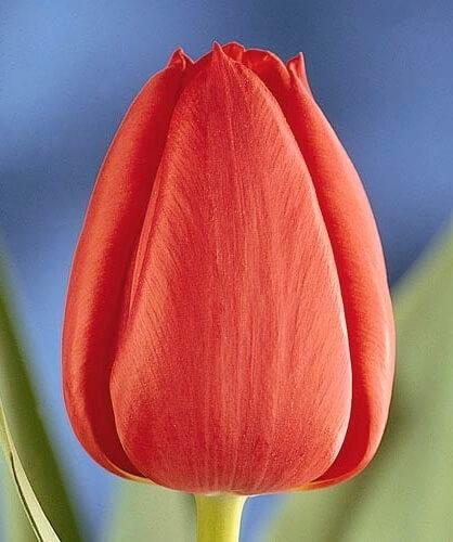 Тюльпан Пол Рихтер