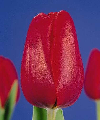 Тюльпан Полдербой
