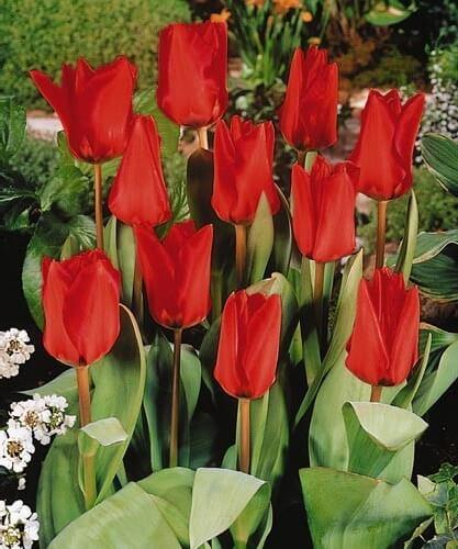 Тюльпан Поло