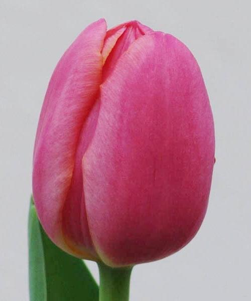 Тюльпан Зе Маунтиз