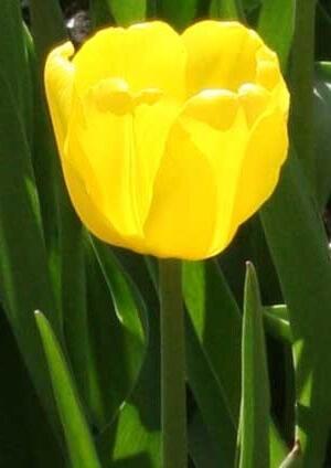 Тюльпан Жан ван Нес