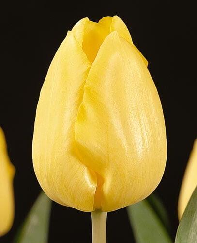 Тюльпан Жанте Бетон