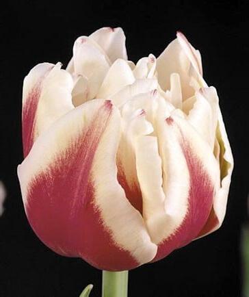 Тюльпан Зизани