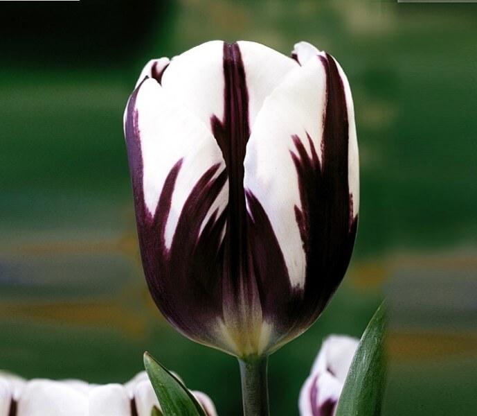 Тюльпан Зурел