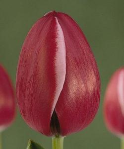 Тюльпан Астарте